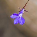 Poco azul Fotografía de archivo libre de regalías