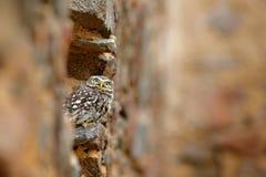 Poco b?ho, noctua del Athene, p?jaro en el h?bitat urbano viejo de la naturaleza, pared de piedra del castillo en Bulgaria Escena fotos de archivo libres de regalías