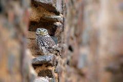 Poco b?ho, noctua del Athene, p?jaro en el h?bitat urbano viejo de la naturaleza, pared de piedra del castillo en Bulgaria Escena imagen de archivo libre de regalías