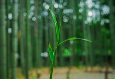Poco bambú Fotografía de archivo