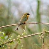 Poco bee-eater Foto de archivo libre de regalías