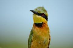 Poco bee-eater Imágenes de archivo libres de regalías