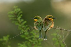Poco bee-eater Immagini Stock