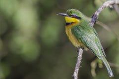Poco bee-eater Fotos de archivo