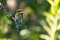 Poco bee-eater Fotografie Stock Libere da Diritti