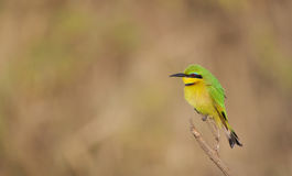 Poco bee-eater Fotografia Stock