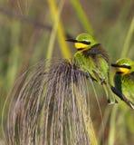 Poco Bee-Eater - delta de Okavango - Botswana Imagen de archivo libre de regalías