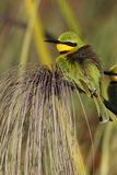 Poco Bee-eater - delta di Okavango - il Botswana Fotografie Stock Libere da Diritti
