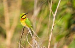 Poco Bee-eater que mira alrededor Foto de archivo libre de regalías