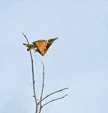Poco Bee-eater que toma vuelo Imagen de archivo