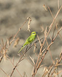Poco bee-eater verde en perca Imagen de archivo libre de regalías