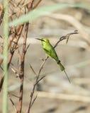 Poco bee-eater verde en perca Fotografía de archivo