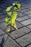 Poco brote de un abedul-árbol que crece en el pavimento Fotografía de archivo libre de regalías