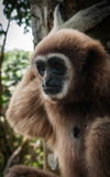 Poco Brown Gibbon, Koh Samui, Tailandia Immagine Stock