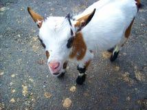 Poco cabra con mirada linda foto de archivo