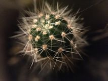 Poco cactus Fotografia Stock
