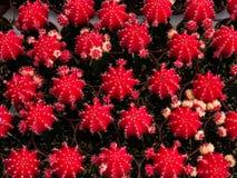 Poco cactus Imágenes de archivo libres de regalías