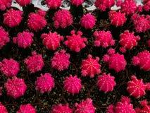 Poco cactus Fotografía de archivo libre de regalías