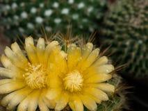 Poco cactus Imagen de archivo libre de regalías