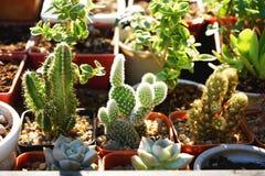 Poco cactus de la planta de tiesto para la decoración del jardín Fotos de archivo libres de regalías
