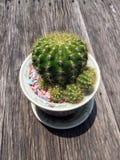 Poco cactus en pequeño pote en la tabla de madera con sol Imagen de archivo libre de regalías