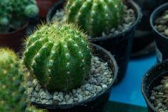 Poco cactus sul vaso, alberi dell'ornamentale del cactus Fotografie Stock