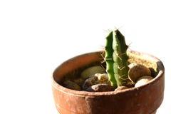Poco cactus in un vaso su bianco Fotografia Stock