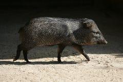 Poco camminare del maiale di Pecari Fotografia Stock
