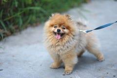 Poco cane pomeranian di colore marrone con la condizione felice del fronte di sorriso fotografie stock libere da diritti