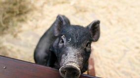Poco cerdos negros en la granja Los cochinillos gruñen en parque zoológico del contacto 2019 Años Nuevos chinos metrajes