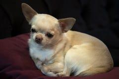 Poco chihuahua del perrito que miente en una almohada roja, imagen de archivo