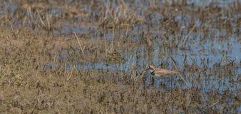 Poco chorlito anillado en un pantano Fotos de archivo