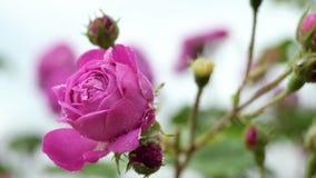 Poco cierre rosado de la rosa para arriba Foto de archivo libre de regalías