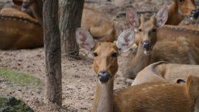 Poco ciervos que miran para arriba la cámara en el salvaje metrajes