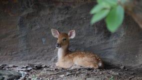 Poco ciervos que se sientan para arriba contra una pared de piedra en el salvaje almacen de metraje de vídeo
