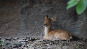 Poco ciervos que se sientan para arriba contra una pared de piedra en el salvaje metrajes