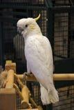 Poco Cockatoo Sulfuro-Con cresta Foto de archivo libre de regalías