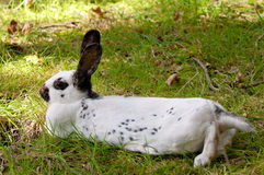 Poco conejo de Lotharinger Imagen de archivo
