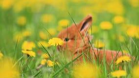 Poco conejo que oculta entre hierba verde y dientes de león amarillos almacen de metraje de vídeo