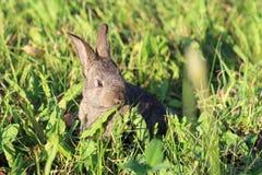 Poco coniglietto grigio lanuginoso che si nasconde nell'erba verde Immagini Stock