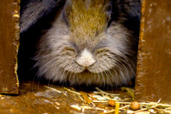 Poco coniglietto rosso che si siede sulla paglia Fotografia Stock