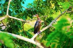 Poco Cormorant o abitante di Giava Cormorant - Microcarbo Niger Immagini Stock Libere da Diritti