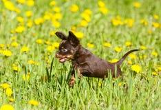 Poco cucciolo attivo che salta sull'erba verde Giocattolo russo Fotografie Stock Libere da Diritti
