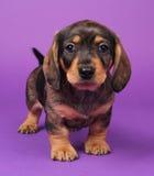 Poco cucciolo del teckle fotografie stock