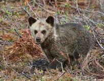 Poco cucciolo dell'orso bruno Fotografie Stock Libere da Diritti