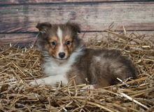 Poco cucciolo di Sheltie Fotografia Stock