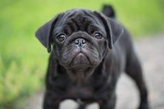 Poco cucciolo nero del carlino Fotografia Stock Libera da Diritti