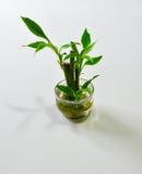 Poco de bambú (braunii del Dracaena) Foto de archivo libre de regalías