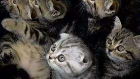 Poco doblez escocés y los gatitos rectos se está sentando en un espacio incluido metrajes