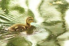 Poco Ducky fotografia stock libera da diritti